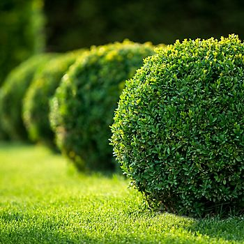 topiary in a classic garden