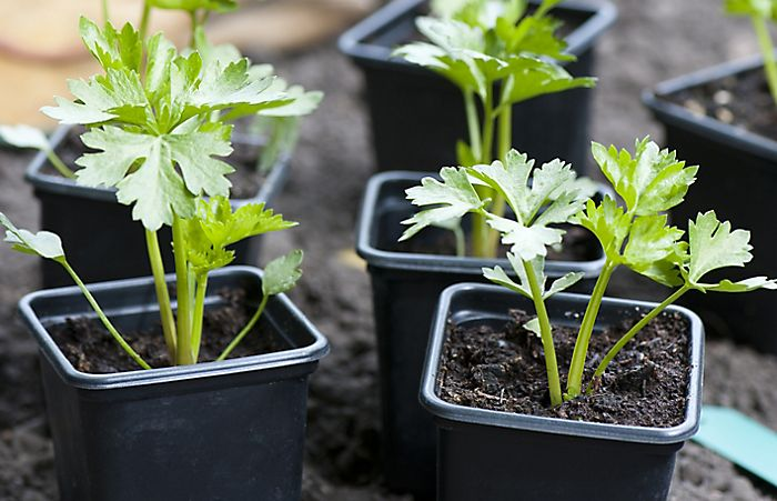 """Growing seedlings in pots"""