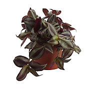 Violet inch plant in 12cm Pot